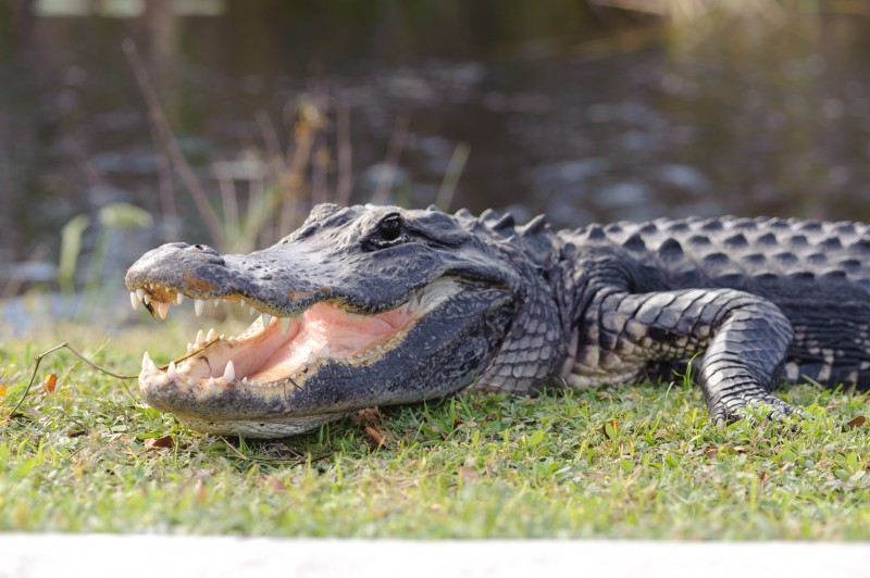 Alligator crawling across the ground