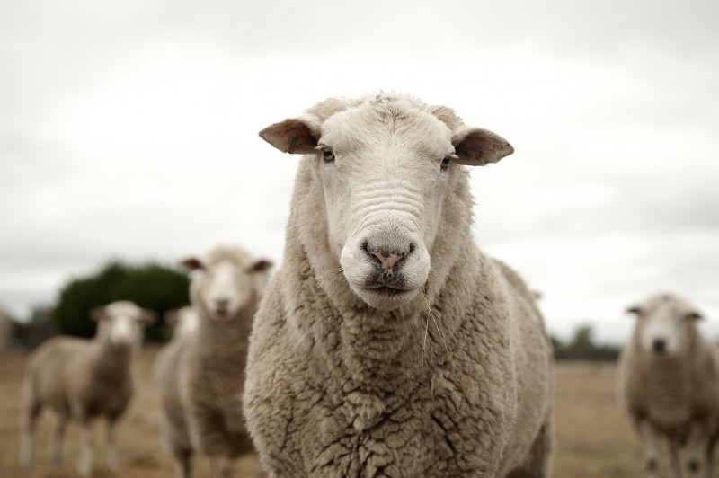 Sheep have played a critical role in understanding TMJ